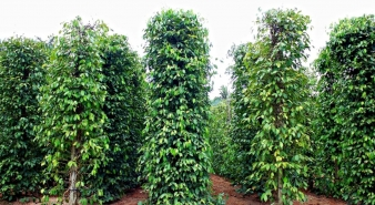 Baseline Data Collection for Sustainable Pepper Project in Vietnam